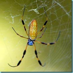 golden_silk_orb-weaver_2007-12-08_0463